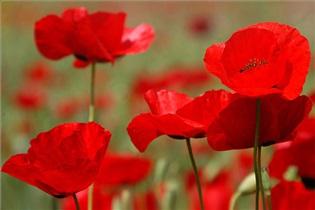 داروخانه سنتی/ شقایق گل زیباییها
