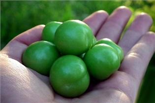 باردارها در مصرف گوجه سبز زیادهروی نکنید!