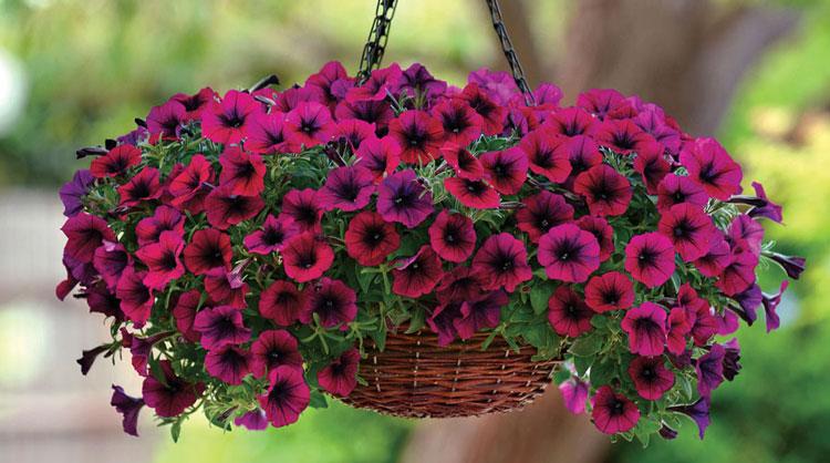 فصل بهار و تابستان فصل گل اطلسی است