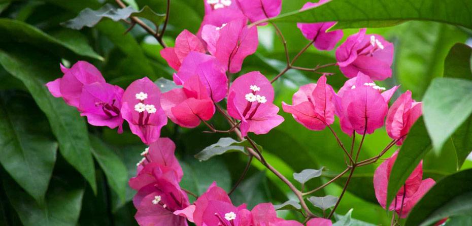 طرز کاشت و نگهداری از گل کاغذی در خانه