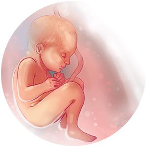وضعیت جنین در هفته 34 بارداری